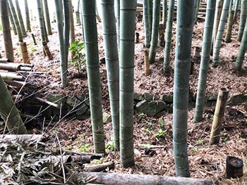 秀次家臣団屋敷跡竹林を守る会の活動のようす画像