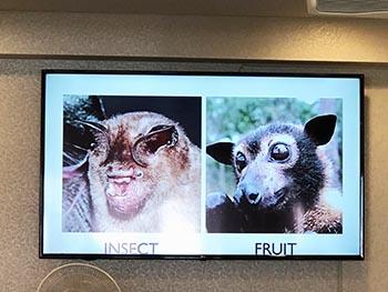 島コウモリ調査グループの活動のようす画像 コウモリの顔の比較写真